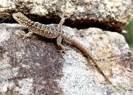 62 machu picchu lizard spiny whorltail iguana